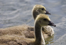 Beautiful picture with a pair of chicks of the Canada geese swimming together Royalty Free Stock Photography