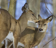 Beautiful picture with a pair of the cute wild deers Stock Photography