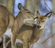 Beautiful picture with a pair of the cute wild deers in love Stock Photography