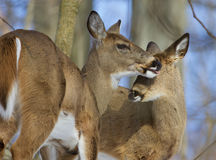 Beautiful picture with a pair of the cute wild deers Royalty Free Stock Photo