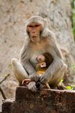 Rhesus Macaques feeding her baby stock images