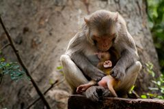 Rhesus Macaques feeding her baby stock photos