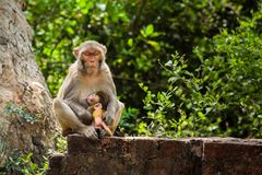 Rhesus Macaques feeding her baby royalty free stock image