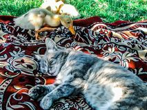 Beautiful picture. Sleeping cat and duckling who became interested in the cat. Nice sight royalty free stock image