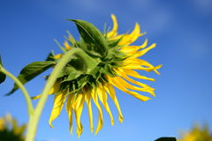 Beautiful picture. Sunflower, back view. Royalty Free Stock Photo