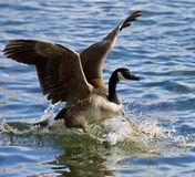 Beautiful  picture of a wild Canada goose landing on the water Royalty Free Stock Photo