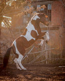 Beautiful piebald horse closeup in the walking open-air cage, nice sunny day. The horse rose on its hind legs. Royalty Free Stock Photo