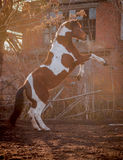 Beautiful piebald horse closeup in the walking open-air cage, nice sunny day. The horse rose on its hind legs. Royalty Free Stock Photos