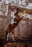 Beautiful piebald horse closeup in the walking open-air cage, nice sunny day. The horse rose on its hind legs. Stock Image