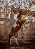 Beautiful piebald horse closeup in the walking open-air cage, nice sunny day. The horse rose on its hind legs. Stock Photography