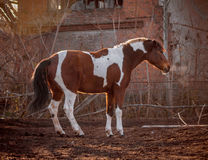 Beautiful piebald horse closeup in the walking open-air cage, nice sunny day. The horse rose on its hind legs. Stock Photo