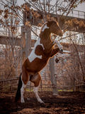 Beautiful piebald horse closeup in the walking open-air cage, nice sunny day. The horse rose on its hind legs. Royalty Free Stock Image