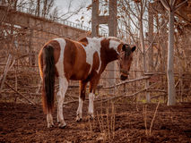 Beautiful piebald horse closeup in the walking open-air cage, nice sunny day. Royalty Free Stock Images