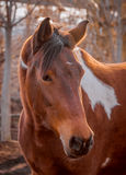 Beautiful piebald horse closeup in the walking open-air cage, nice sunny day. Stock Images