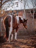 Beautiful piebald horse closeup in the walking open-air cage, nice sunny day. Stock Photography
