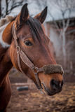 Beautiful piebald horse closeup in the walking open-air cage, nice sunny day. Royalty Free Stock Photography