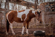 Beautiful piebald horse closeup in the walking open-air cage, nice sunny day. Stock Photos