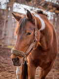 Beautiful piebald horse closeup in the walking open-air cage, nice sunny day. Royalty Free Stock Photos