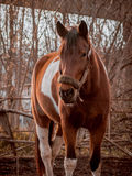 Beautiful piebald horse closeup in the walking open-air cage, nice sunny day. Royalty Free Stock Image