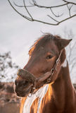 Beautiful piebald horse closeup in the walking open-air cage, nice sunny day. Stock Photo