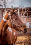 Beautiful piebald horse closeup in the walking open-air cage, nice sunny day. Royalty Free Stock Photo