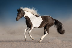 Beautiful piebald horse Stock Photos
