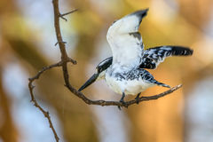 Beautiful pied kingfisher or Ceryle rudis Royalty Free Stock Images