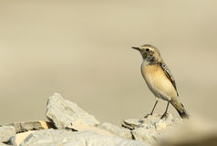 Beautiful Pied Wheatear Stock Images