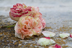 Beautiful  pierre de ronsard rose lean on the ground Royalty Free Stock Images