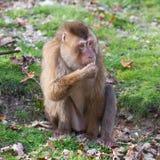 Beautiful pig-tailed macaque (Macaca nemestrina). Eating fruit Royalty Free Stock Images