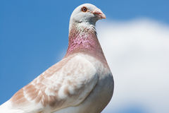 Beautiful pigeon. Against blue sky stock photo