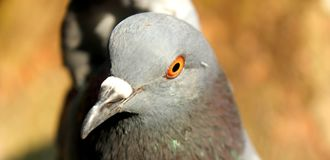 Beautiful Pigeon on Background, Isolated Pigeon stock images