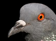 Beautiful Pigeon on Background, Isolated Pigeon stock photo
