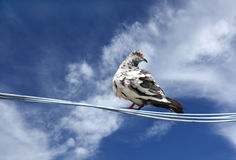 A beautiful pigeon on a clear sky Royalty Free Stock Images