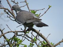 A beautiful pigeon dove culver sitting on tree branch on blue sky background. Common Wood Pigeon. A beautiful pigeon dove culver sitting on tree branch on blue royalty free stock photography