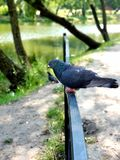 A beautiful pigeon on the fence rests in extreme heat. Dove on the rail Grey city pigeon stock photo