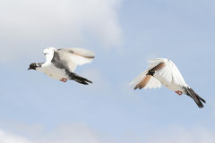 Beautiful pigeon in flight. Composite of a beautiful pigeon in flight, two differing wing and body positions royalty free stock photo