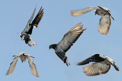 Beautiful pigeon in flight. Composite of a beautiful grey pigeon in flight, five differing wing and body positions royalty free stock images