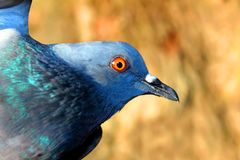 Beautiful Pigeon on Isolated Background, Isolated Pigeon royalty free stock photo