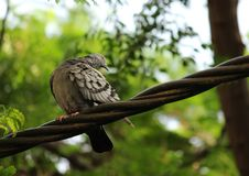 Shy away. A beautiful pigeon shying away from photo Royalty Free Stock Image