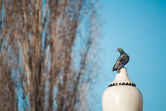 Beautiful pigeon sits on a lamppost against a clear sky background Stock Photography