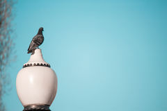 Beautiful pigeon sits on a lamppost against a clear sky background Royalty Free Stock Image