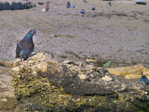 Beautiful pigeon sits on a rock by the sea Stock Images