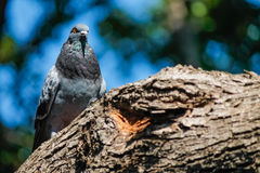 Beautiful pigeon watching Royalty Free Stock Photography