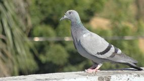 Beautiful pigeon Stock Photography