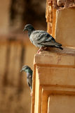 Beautiful pigeons. Pigeon is a common bird, is the friend of mankind Stock Photography