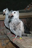 Beautiful pigeons for competitions Royalty Free Stock Photo