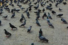 Pigeons at Gateway of India Mumbai Stock Images