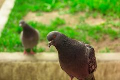 Beautiful pigeons stroll through the park Royalty Free Stock Image