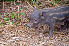 Beautiful Piglet Stock Image